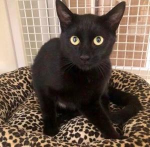 [picture of Rita, a Domestic Short Hair black\ cat]