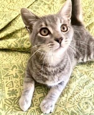 [another picture of Lucas, a Domestic Short Hair silver\ cat]