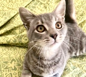[picture of Lucas, a Domestic Short Hair silver\ cat]
