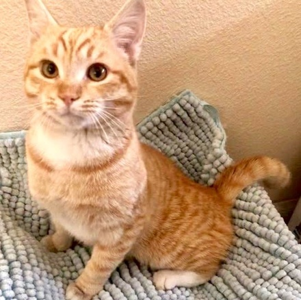 [picture of Rocko, a Domestic Short Hair orange\ cat]