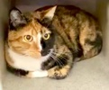A picture of #ET03829: Luisa a Domestic Short Hair calico