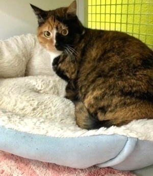 [another picture of Luisa, a Domestic Short Hair calico\ cat]