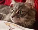 A picture of #ET03830: Hufflepuff a Maine Coon-x gray