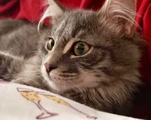 [picture of Hufflepuff, a Maine Coon-x gray\ cat]