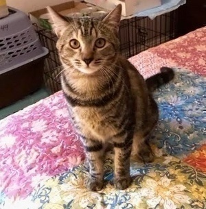 [picture of Kaylea, a Domestic Short Hair marble tortie/tabby\ cat]