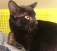 A picture of #ET03835: Colin a Domestic Short Hair black