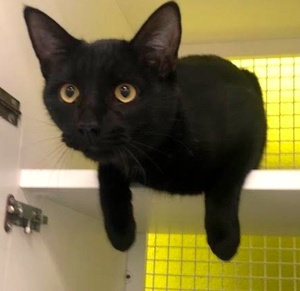 [another picture of Colin, a Domestic Short Hair black\ cat]