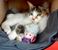 A picture of #ET03837: Camyla a Domestic Short Hair calico