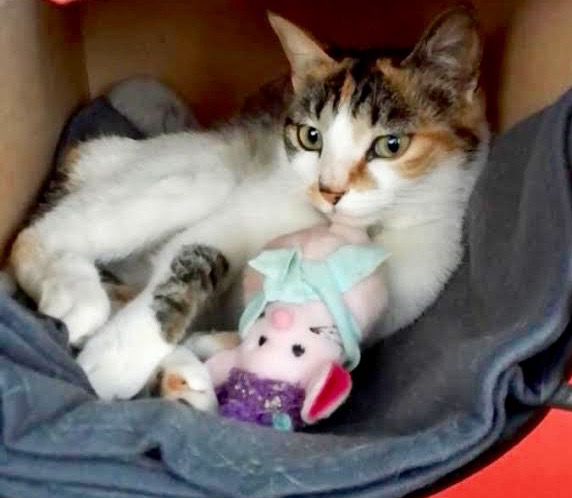 [picture of Camyla, a Domestic Short Hair calico\ cat]