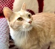 A picture of #ET03838: Nayla a Domestic Short Hair orange