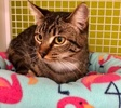 A picture of #ET03839: Elizabeta a Domestic Short Hair brown tabby/white