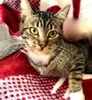 [picture of Elizabeta, a Domestic Short Hair brown tabby/white cat]