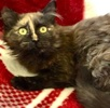 A picture of #ET03840: Anestasia a Domestic Long Hair tortie