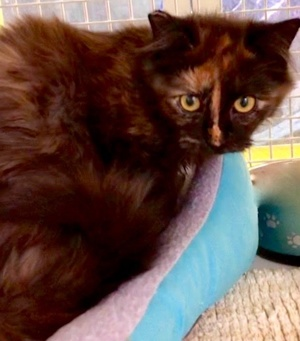 [another picture of Anestasia, a Domestic Long Hair tortie\ cat]