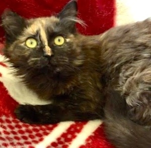 [picture of Anestasia, a Domestic Long Hair tortie\ cat]