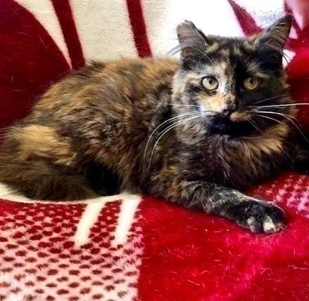 [picture of Josette, a Domestic Long Hair tortie\ cat]