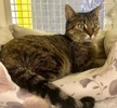 A picture of #ET03842: Judy a Domestic Short Hair brown tabby