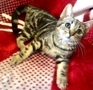 [picture of Gia, a Domestic Short Hair marble tabby\ cat]