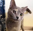 A picture of #ET03844: Lily a Domestic Short Hair blue tortie