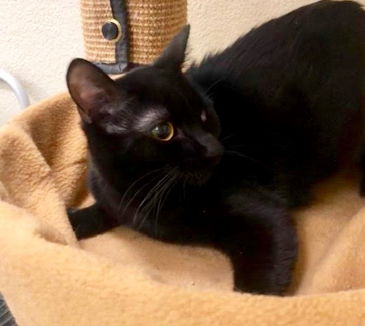 [picture of Batgirl, a Domestic Short Hair black\ cat]