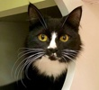 A picture of #ET03846: Sylvesta a Domestic Long Hair blackwhite