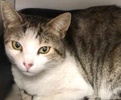 A picture of #ET03847: Ricardo a Domestic Short Hair brown tabby/white