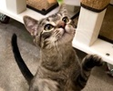 A picture of #ET03848: Rose a Abyssinian Mix gray