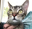 [picture of Rose, a Abyssinian Mix gray cat]