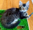 A picture of #ET03850: Murphy a Domestic Long Hair black