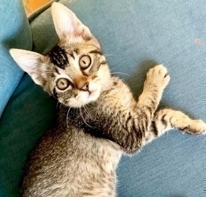 [picture of Lucy, a Abyssinian Mix gray\ cat]