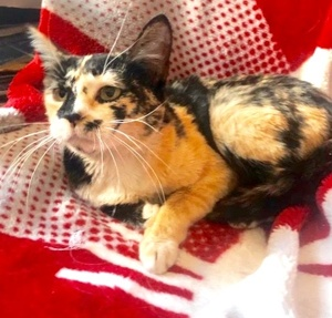 [another picture of Azalea, a Domestic Short Hair calico\ cat]