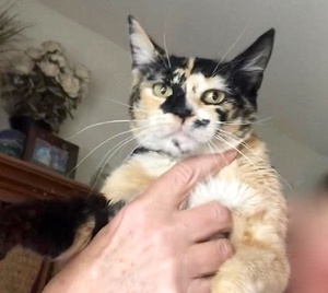 [picture of Azalea, a Domestic Short Hair calico\ cat]