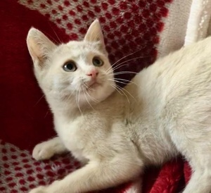 [picture of Lantano, a Domestic Short Hair white\ cat]