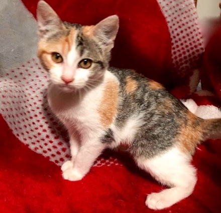 [picture of Daffodil, a Domestic Short Hair calico\ cat]