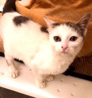 [picture of Carlita, a Turkish Van Mix white/gray\ cat]