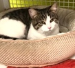A picture of #ET03856: Frigga a Domestic Short Hair brown tabby/white