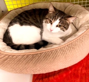 [another picture of Frigga, a Domestic Short Hair brown tabby/white\ cat]