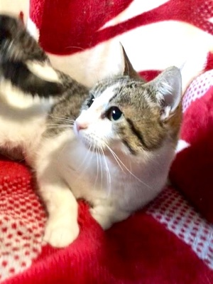 [picture of Frigga, a Domestic Short Hair brown tabby/white cat]
