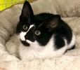 A picture of #ET03857: Peppa a Domestic Short Hair black/white