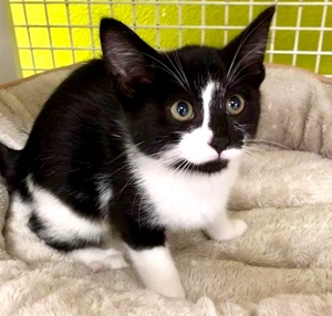 [another picture of Peppa, a Domestic Short Hair black/white\ cat]
