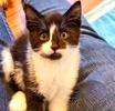[picture of Peppa, a Domestic Short Hair black/white cat]
