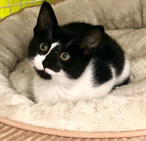 [picture of Peppa, a Domestic Short Hair black/white\ cat]