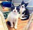A picture of #ET03858: Cayenne a Domestic Short Hair black/white