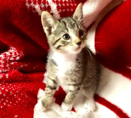 [picture of Raganok, a Domestic Short Hair tabby/white\ cat]