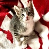 A picture of #ET03860: Thor a Domestic Short Hair tabby/white