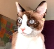 A picture of #ET03862: Sky a Siamese snowshoe