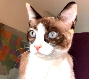[picture of Sky, a Siamese snowshoe\ cat]
