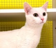 A picture of #ET03863: Snow Flake a Domestic Short Hair white
