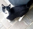 A picture of #ET03864: Tuxedo Cake a Domestic Medium Hair black/white