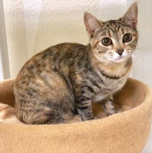 [another picture of Pumpkin Pie, a Domestic Short Hair tabby/tortie\ cat]